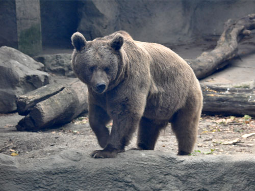 photo Ursus arctos syriacus / Syrian brown bear