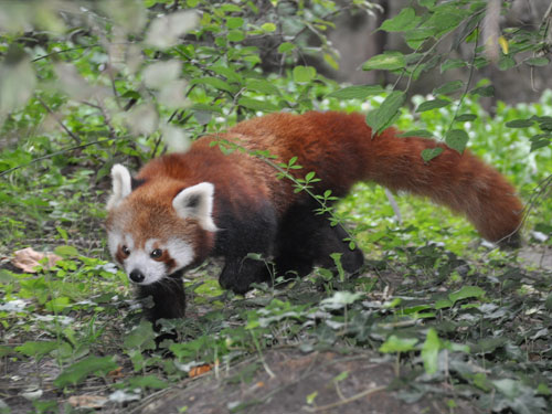 photo Ailurus fulgens fulgens / Red panda