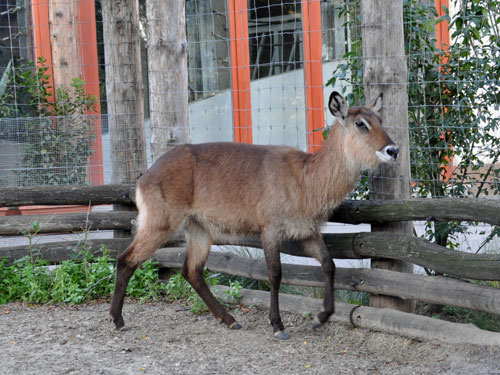 photo Defassa waterbuck / <span class='cursive'>Kobus ellipsiprymnus defassa</span>
