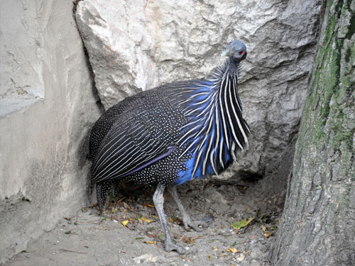 photo Vulturine guineafowl / <span class='cursive'>Acryllium vulturinum</span>