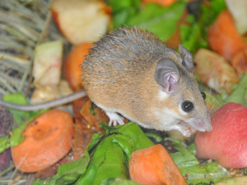 photo Sinai spiny mouse / <span class='cursive'>Acomys dimidiatus</span>