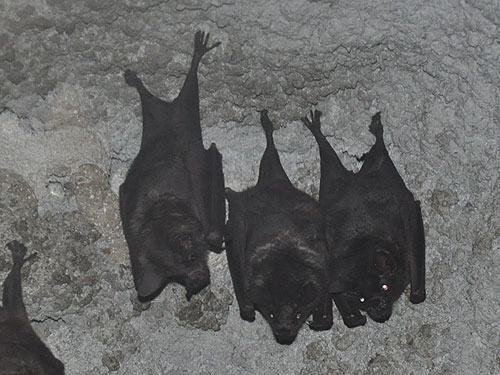 photo Pale spear-nosed bat / <span class='cursive'>Phyllostomus discolor</span>