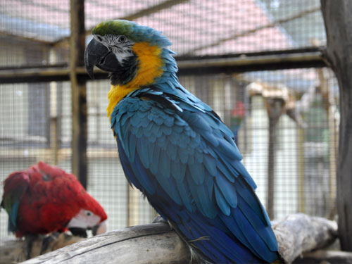 photo Ara ararauna / Blue-and-yellow macaw