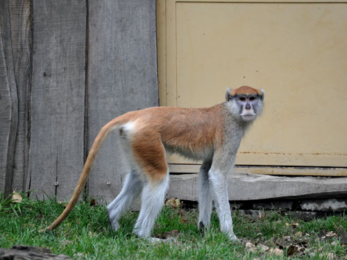 photo Erythrocebus patas / Patas monkey