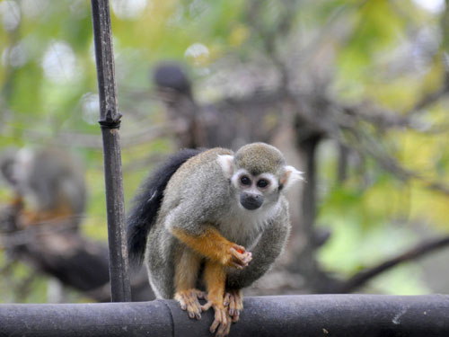 photo Common squirrel monkey / <span class='cursive'>Saimiri sciureus</span>