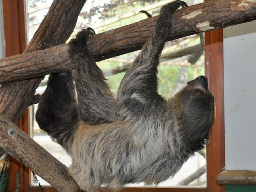photo Choloepus didactylus / Linne's two-toed sloth