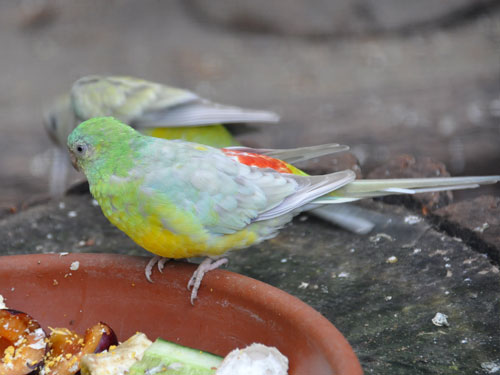 photo Psephotus haematonotus / Red-rumped parrot
