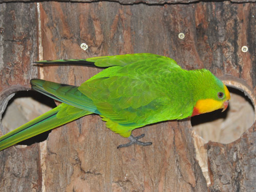 photo Superb parrot / <span class='cursive'>Polytelis swainsonii</span>