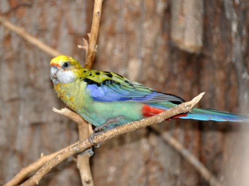 Blue-cheeked rosella