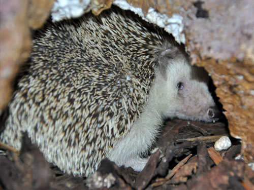 photo Atelerix albiventris / Four-toed hedgehog