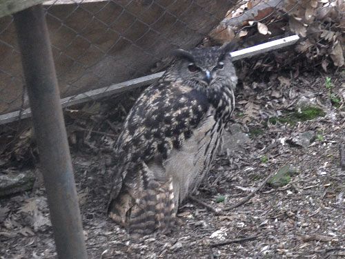 Spanish eagle owl