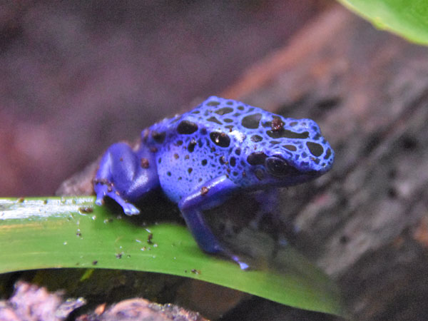 photo Dendrobates tinctorius / Yellow-and-blue poison dart frog