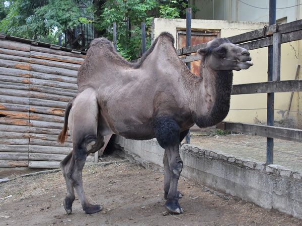 Bactrian camel / Camelus bactrianus<br> Total: 138