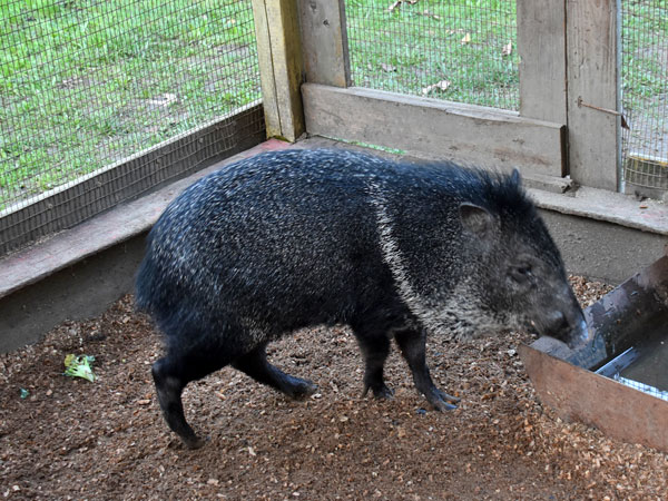 photo Collared peccary / <span class='cursive'>Pecari tajacu</span>