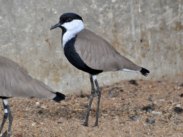 photo Spur-winged plover / <span class='cursive'>Vanellus spinosus</span>