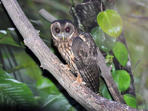 photo Mottled owl / <span class='cursive'>Ciccaba virgata</span>