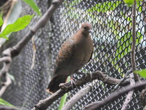 photo White-throated ground dove / <span class='cursive'>Alopecoenas xanthonurus</span>