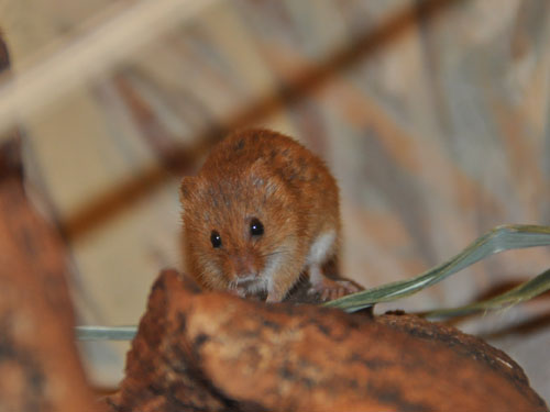 photo <span class='cursive'>Micromys minutus</span> / Eurasian harvest mouse
