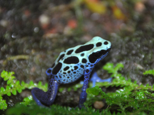 photo Dyeing poison frog / <span class='cursive'>Dendrobates tinctorius</span>