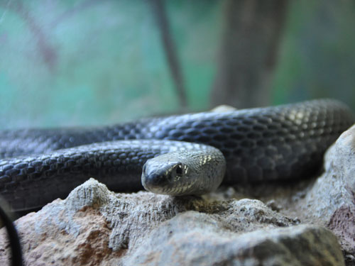 photo Black whip snake / <span class='cursive'>Dolichophis jugularis asianus</span>
