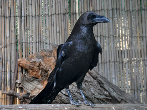 photo Brown-necked raven / <span class='cursive'>Corvus ruficollis</span>