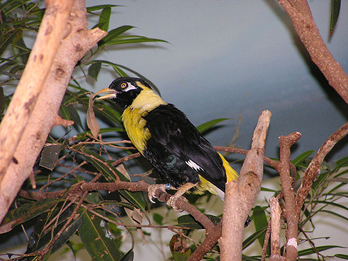 Golden-breasted mynah