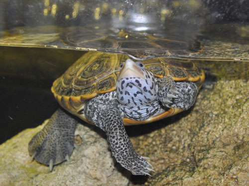 photo Diamondback terrapin / <span class='cursive'>Malaclemys terrapin</span>