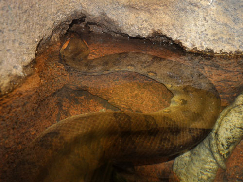 photo Eunectes murinus / Green anaconda