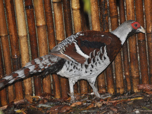 photo Syrmaticus ellioti / Elliot's pheasant