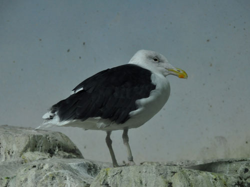 photo Great black-backed gull / <span class='cursive'>Larus marinus</span>
