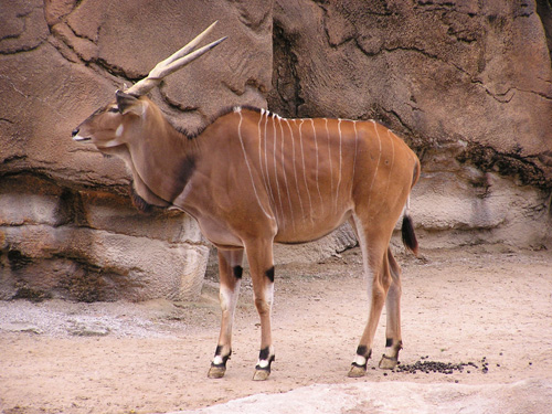 photo Giant eland / <span class='cursive'>Tragelaphus derbianus gigas</span>