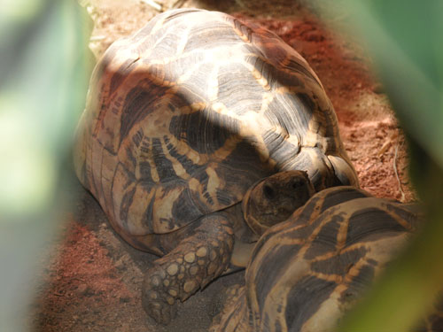 photo Geochelone platynota / Burmese star tortoise
