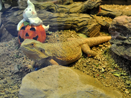 photo Pogona vitticeps / Inland bearded dragon