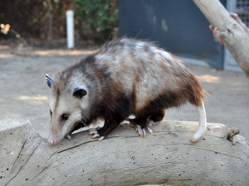 photo Virginia opossum / <span class='cursive'>Didelphis virginiana</span>