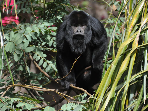 photo Black howler / <span class='cursive'>Alouatta caraya</span>
