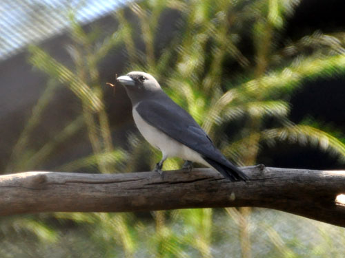 photo White-breasted wood swallow / <span class='cursive'>Artamus leucorhynchus</span>