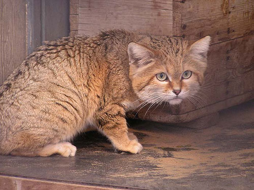 photo Arabian sand cat / <span class='cursive'>Felis margarita harrisoni</span>