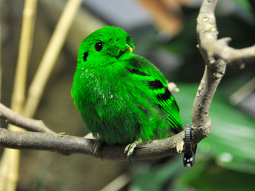 photo Calyptomena viridis / Lesser green broadbill