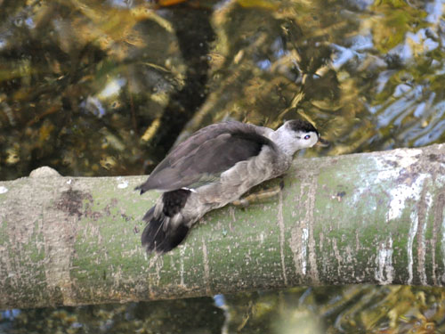 photo Indian pygmy goose / <span class='cursive'>Nettapus coromandelianus</span>
