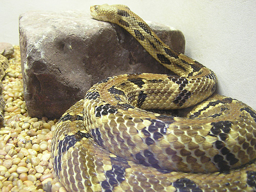 photo Timber rattlesnake / <span class='cursive'>Crotalus horridus</span>