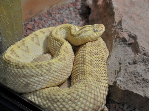 photo Colombian rattlesnake / <span class='cursive'>Crotalus durissus cumanensis</span>