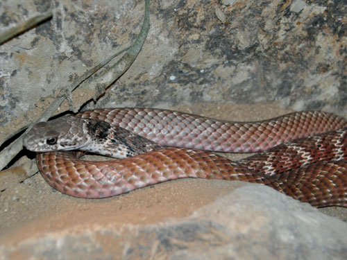 Red coachwhip