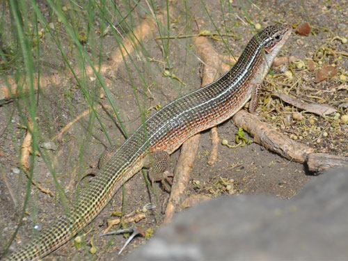Yellow-throated plated lizard