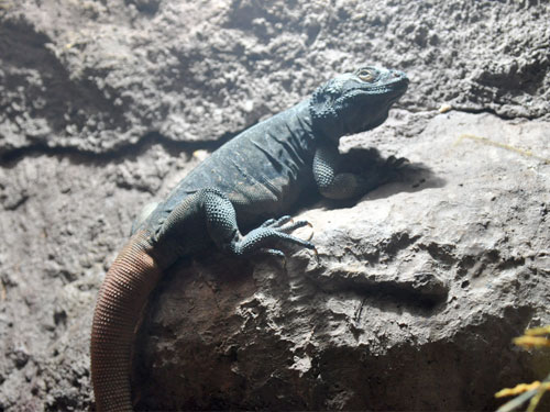 photo Chuckwalla / <span class='cursive'>Sauromalus ater</span>