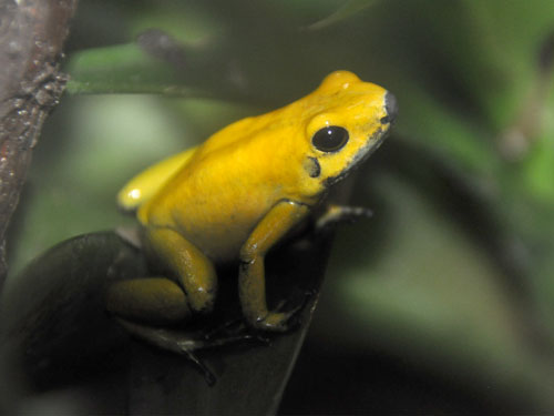 Bicolored poison dart frog