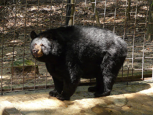 photo North American black bear / <span class='cursive'>Ursus americanus</span>