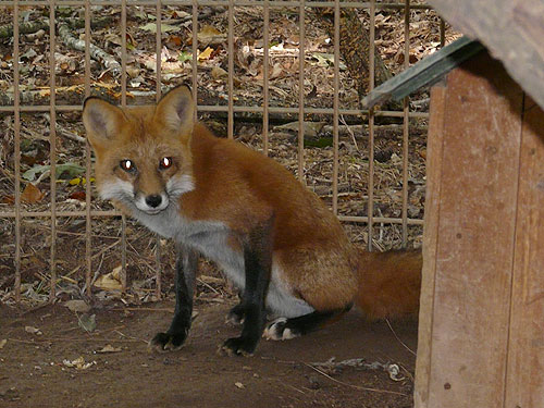 photo Red fox / <span class='cursive'>Vulpes vulpes fulva</span>