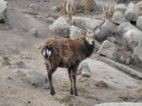 Northern China sika deer