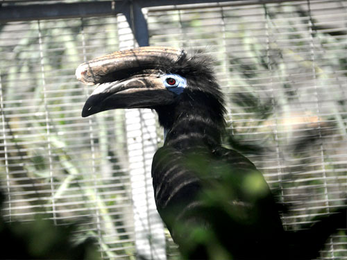 Black-casqued hornbill
