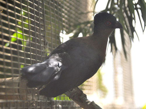 Violet-crested turaco